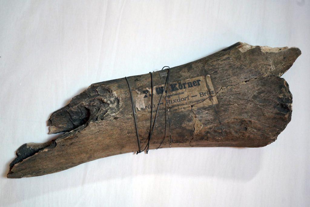 Oberschenkelfragment eines Mammuts. Gefunden in einer Körnerschen Kiesgrube in Neukölln.